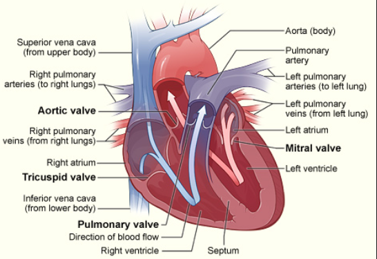 Aortic Valve 3: Aortic Insufficiency image