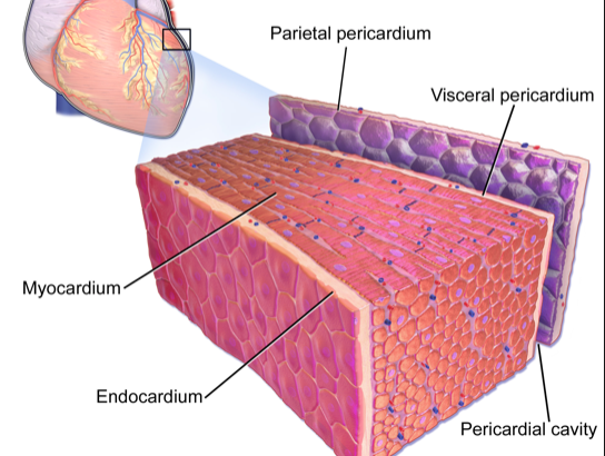 Masses, Pericardial And Myocardial Disease 1: General Approach image