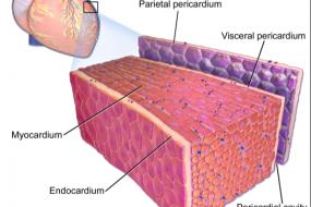 Masses, Pericardial And Myocardial Disease 4: Myocardial Disease image