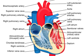 Aortic Valve 1: Anatomy And Aortic Stenosis image