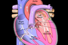 Mitral Valve 1: Anatomy image